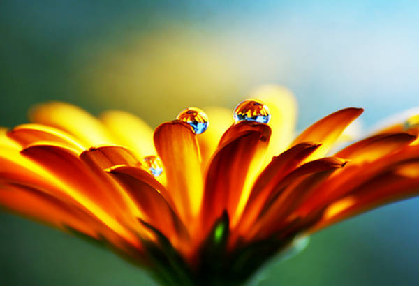 Sunflower with water droplets